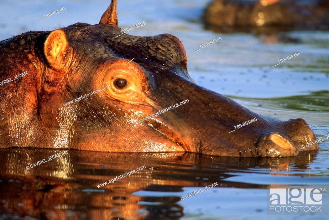Stock Photo: Hippopotamus in river,Hippopotamus amphibius.