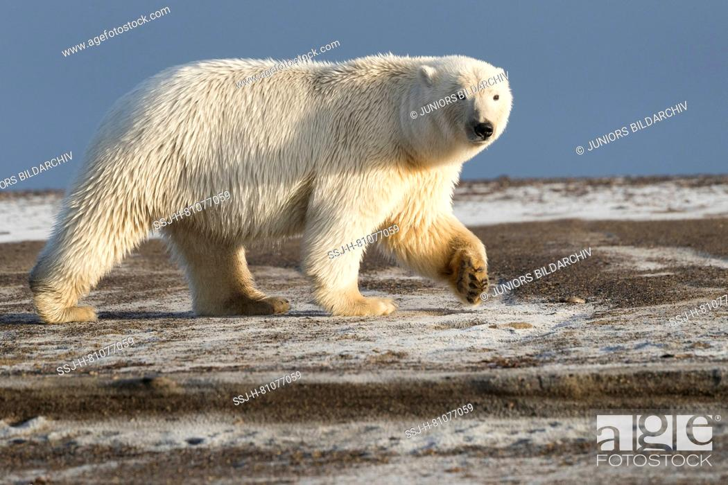 Imagen: Polar Bear (Ursus maritimus, Thalarctos maritimus) walking on a barrier island. Kaktovik, Alaska. Every fall polar bears gather near Kaktovik on the northern.