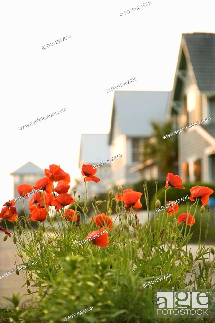 Stock Photo: Red poppy flowers in front of houses.