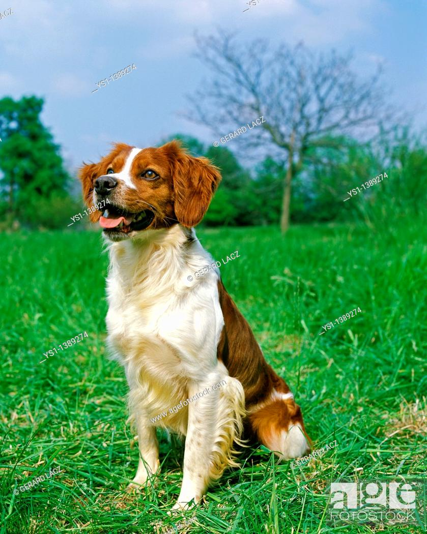 Stock Photo: Brittany Spaniel, Adult sitting on Grass.