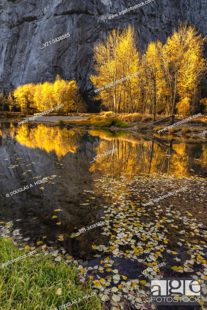 Stock Photo: Merced River Cottonwoods in Fall.