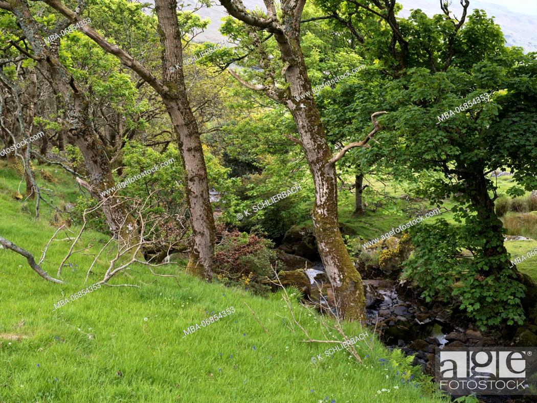 Stock Photo: Northern Ireland, county Fermanagh, old maple trees on stream course, close Enniskillen.