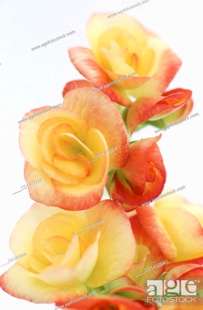 Stock Photo: Begonia (Begonia multiflora).