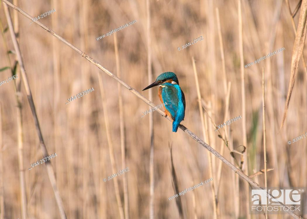 Stock Photo: Kingfisher (Alcedo atthis). El Remolar, Viladecans, Barcelona province, Spain.