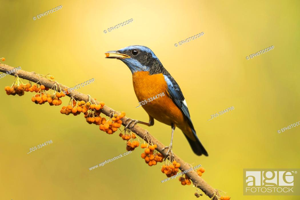 Stock Photo: Blue-capped rock thrush, male, Monticola cinclorhyncha, Western Ghats, India.