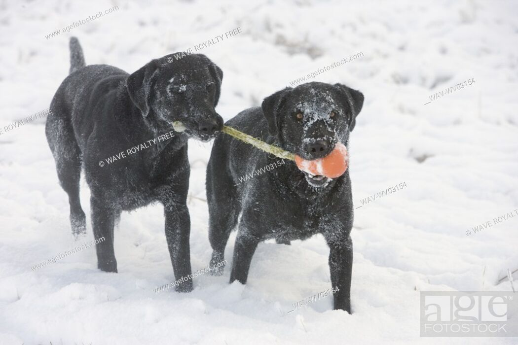 Stock Photo: Two black dogs share toy in snow, Canada, Alberta.