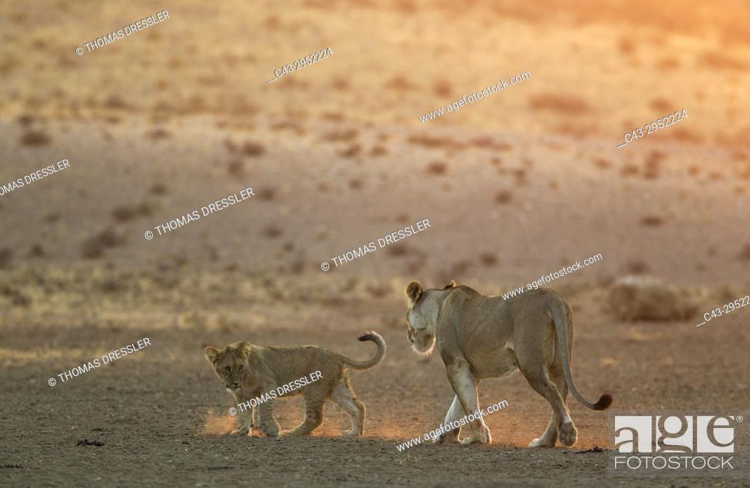 Stock Photo: Lion (Panthera leo). Female with playful cub in the light of the early morning. Kalahari Desert, Kgalagadi Transfrontier Park, South Africa.