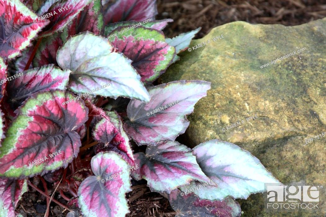 Stock Photo: plant with multicolored wrinkled-looking leaves against gold-colored rock, garden in Bloomington, IN.