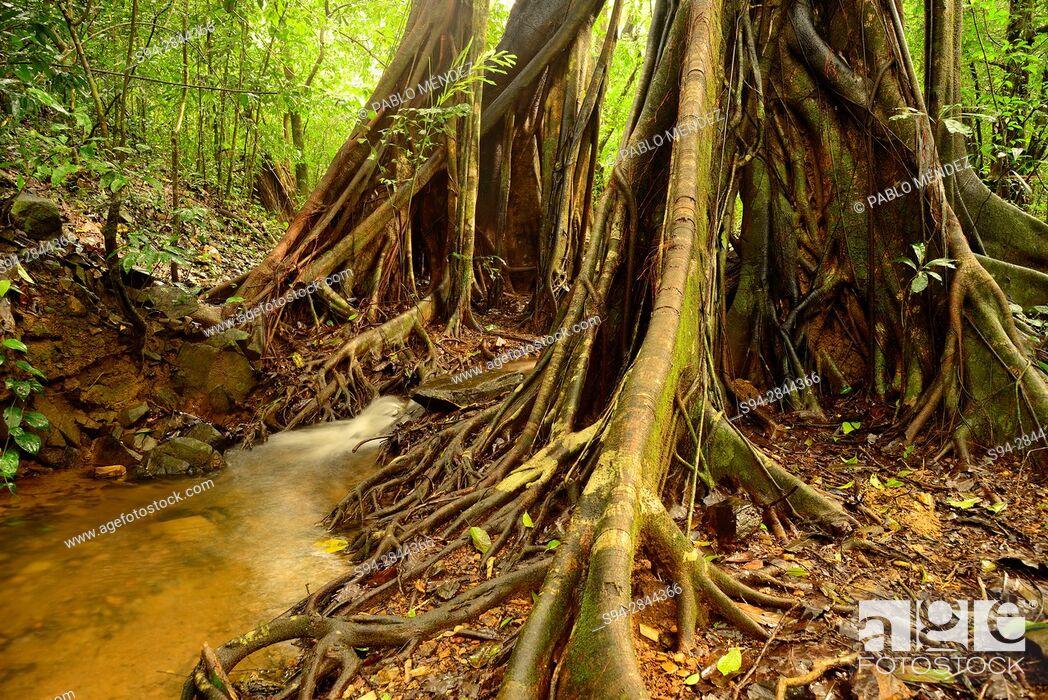 "Imagen: Stream in """"Tree Top"""" trail in Cotigao sanctuary, Goa, India."