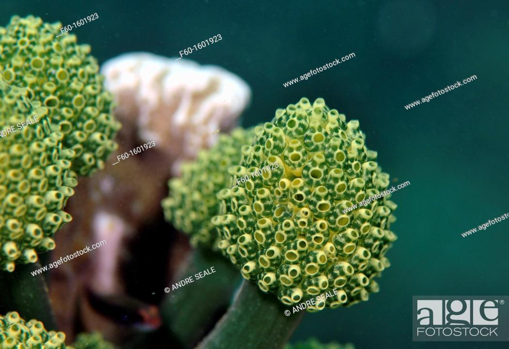 Stock Photo: Ascidian colony, Pohnpei, Federated States of Micronesia.