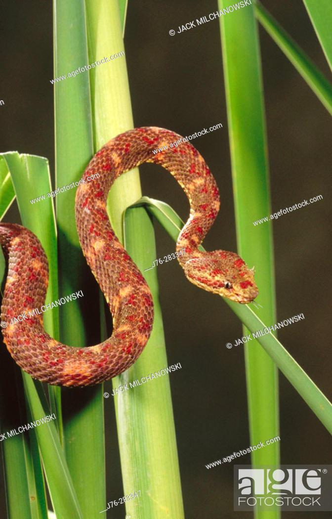 Stock Photo: Eyelash Viper (Bothriechis schlegelii).