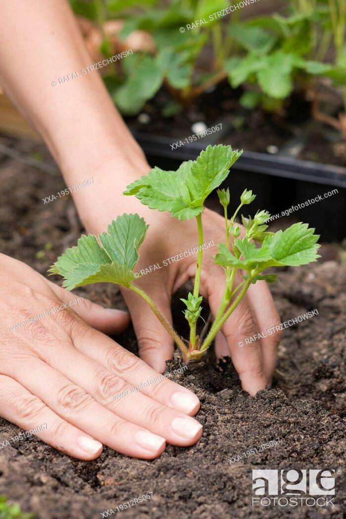Imagen: Woman planting strawberries.
