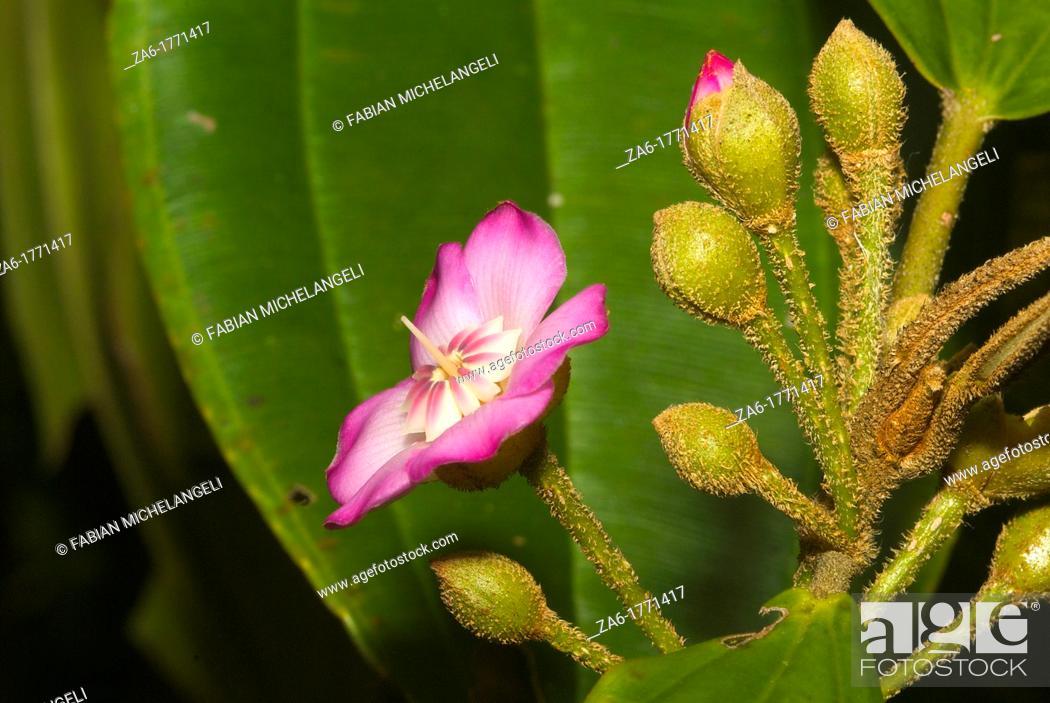 Stock Photo: Flower and flower buds of Blakea sp Melastomataceae in Guramacal National Park, Venezuela.