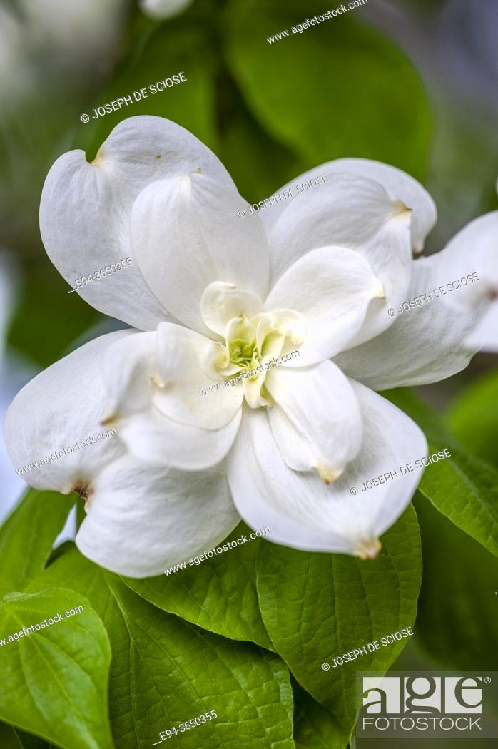 Photo de stock: Double Blossoms on a dogwood Cornus florida, in the spring.