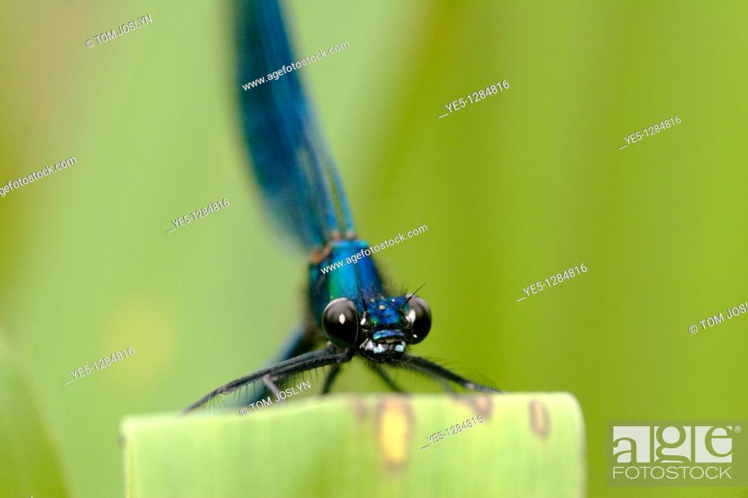 Stock Photo: Banded Demoiselle Calopteryx splendens England , UK.