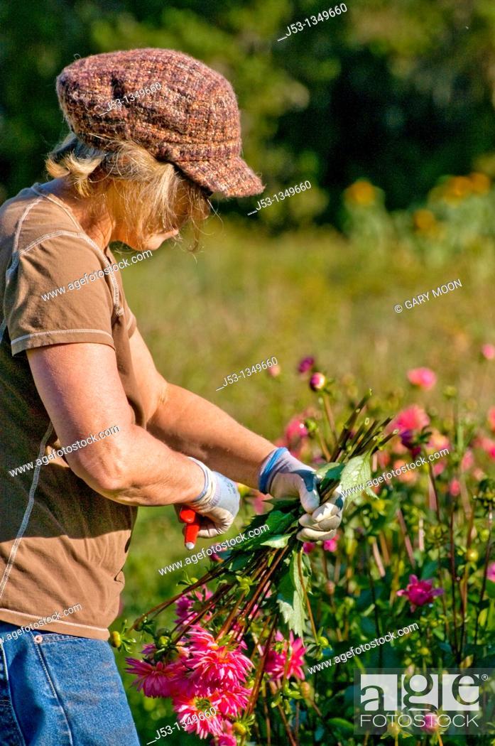 Stock Photo: Farmer picking dahlias on organic flower farm to be sold at farmers market, Humboldt County, California.