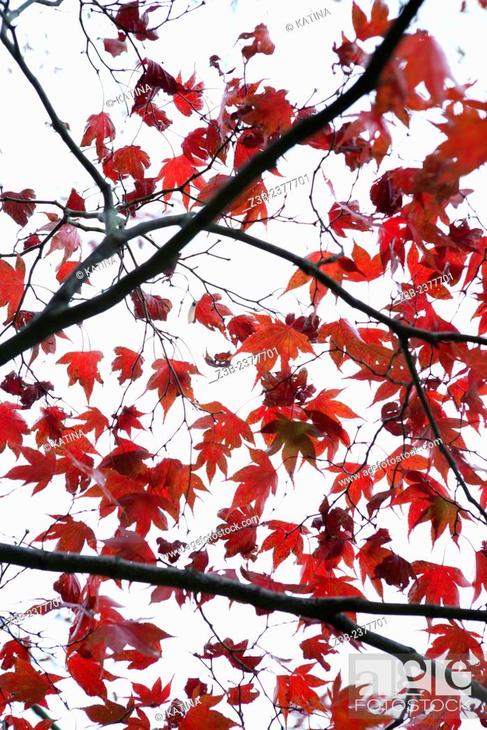 Stock Photo: Japanese Maple tree, Acer japonicum, with red leaves, Frelinghuysen Arboretum, Morristown, New Jersey, NJ, USA.