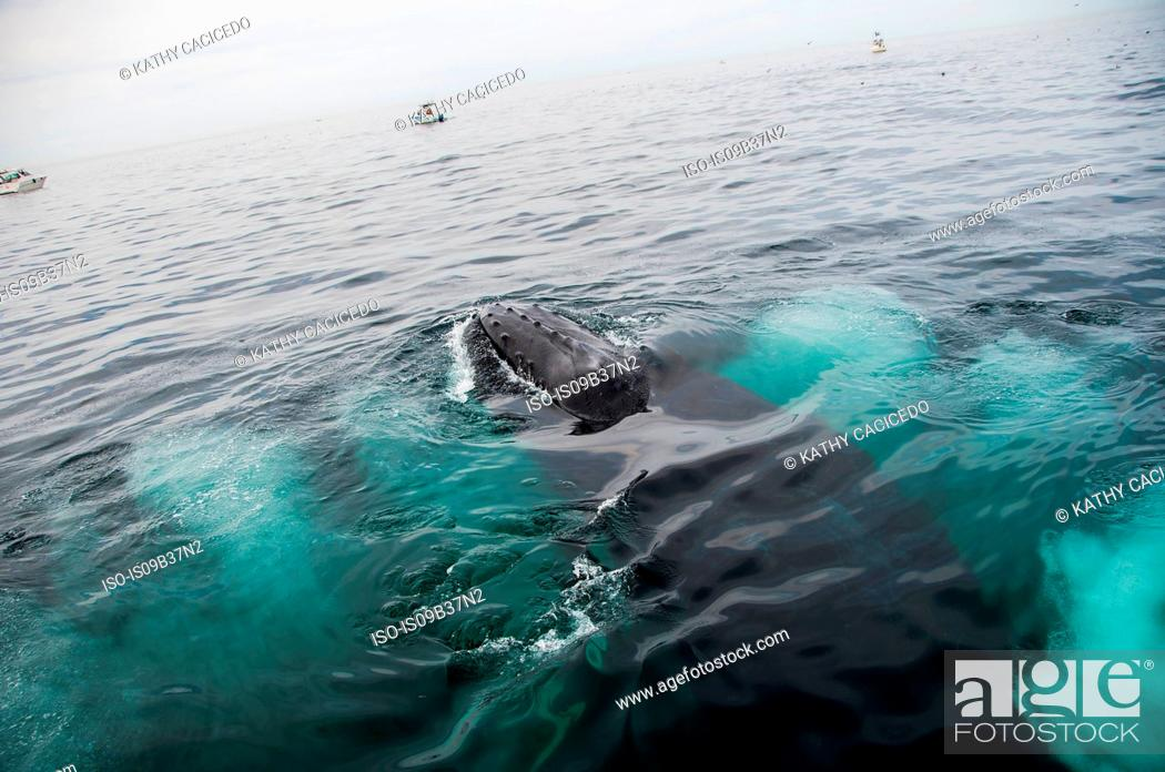 Stock Photo: Humpback whale feeding on water surface, Provincetown, Massachusetts, USA.