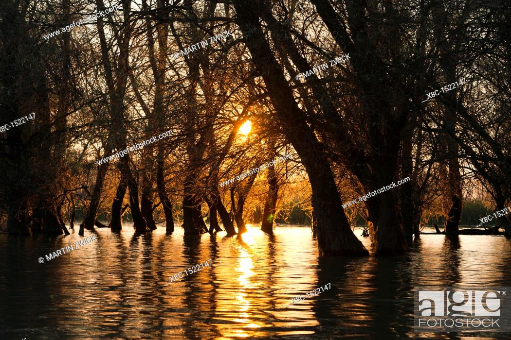 Stock Photo: Channels during sunrise in the Danube Delta, romania  Big willows, alder and ash trees from a riparian forest along the channels  Only during September large.