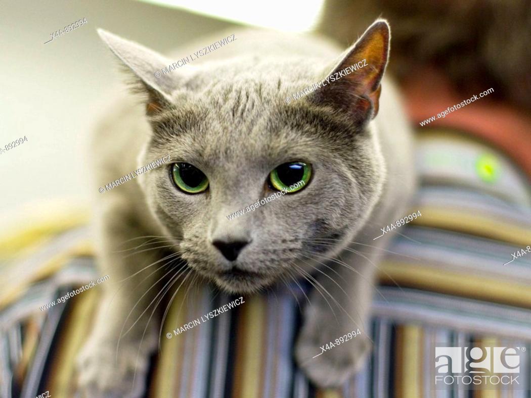 Stock Photo: FIFe International Cat Show in Hamburg, Germany 2009, Russian blue cat.