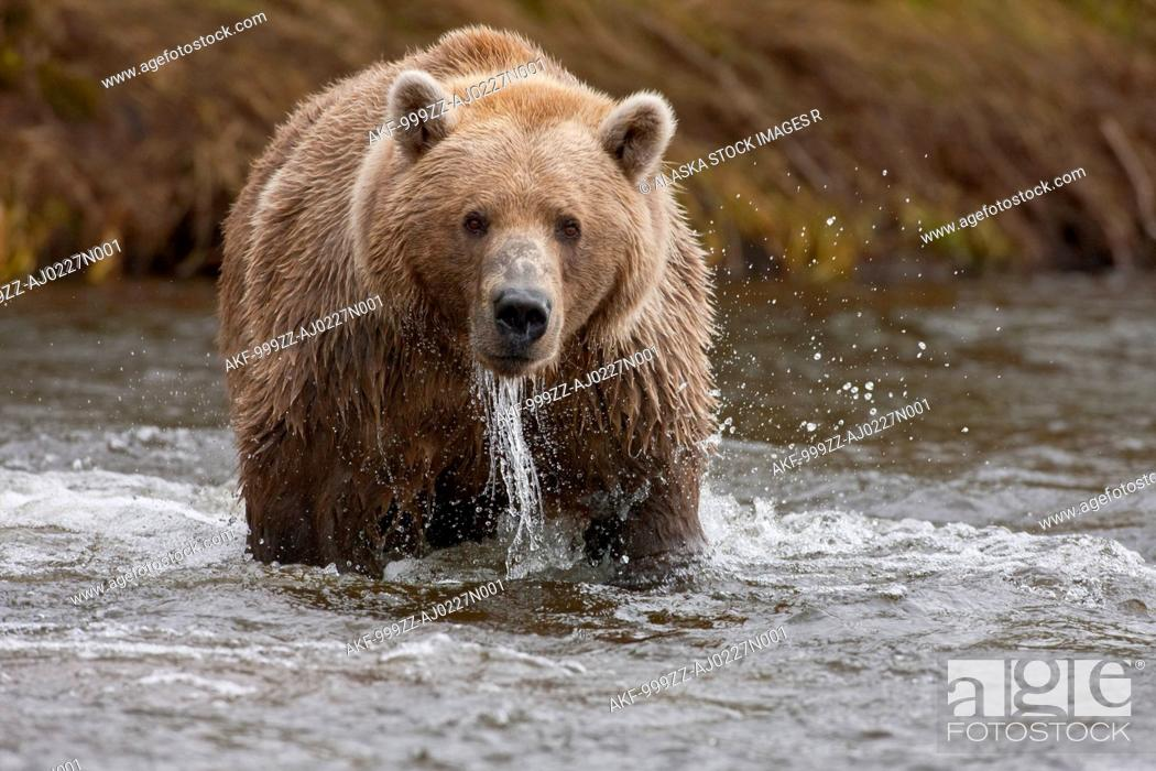 Stock Photo: Brown bear fishing for salmon, Grizzly Creek, Katmai National Park and Preserve, Southwest Alaska, Summer.