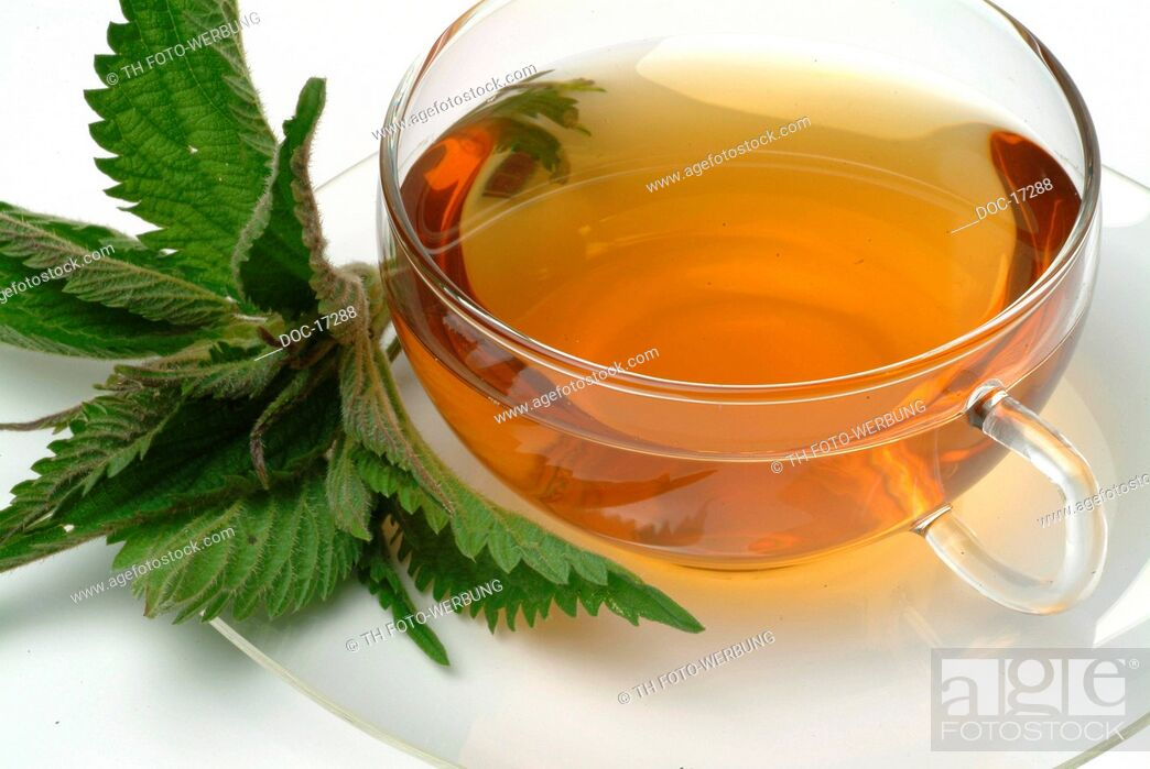 Imagen: medicinal tea made of Common nettle - stinging nettle - fresh parts and cup of tea - herb - medicinal plant - Ortica comune - te.