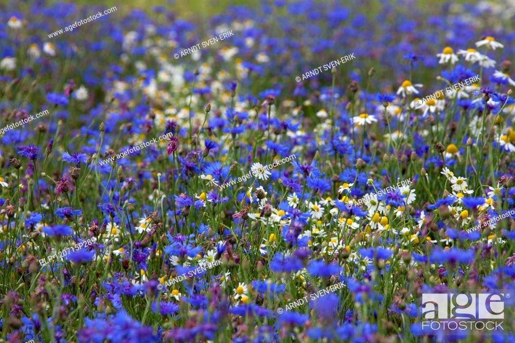 Stock Photo: Cornflowers Centaurea cyanus and oxeye daisies Leucanthemum vulgare flowering in field, Germany.