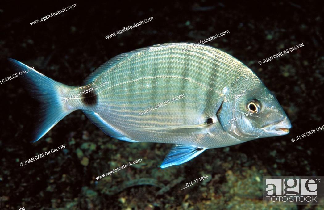 Stock Photo: White Sea Bream (Diplodus sargus).