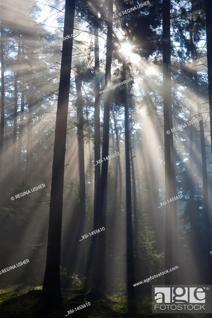 Stock Photo: Sun filtering through mature fir wood and early morning mist in spring, Lower Saxony, Germany.
