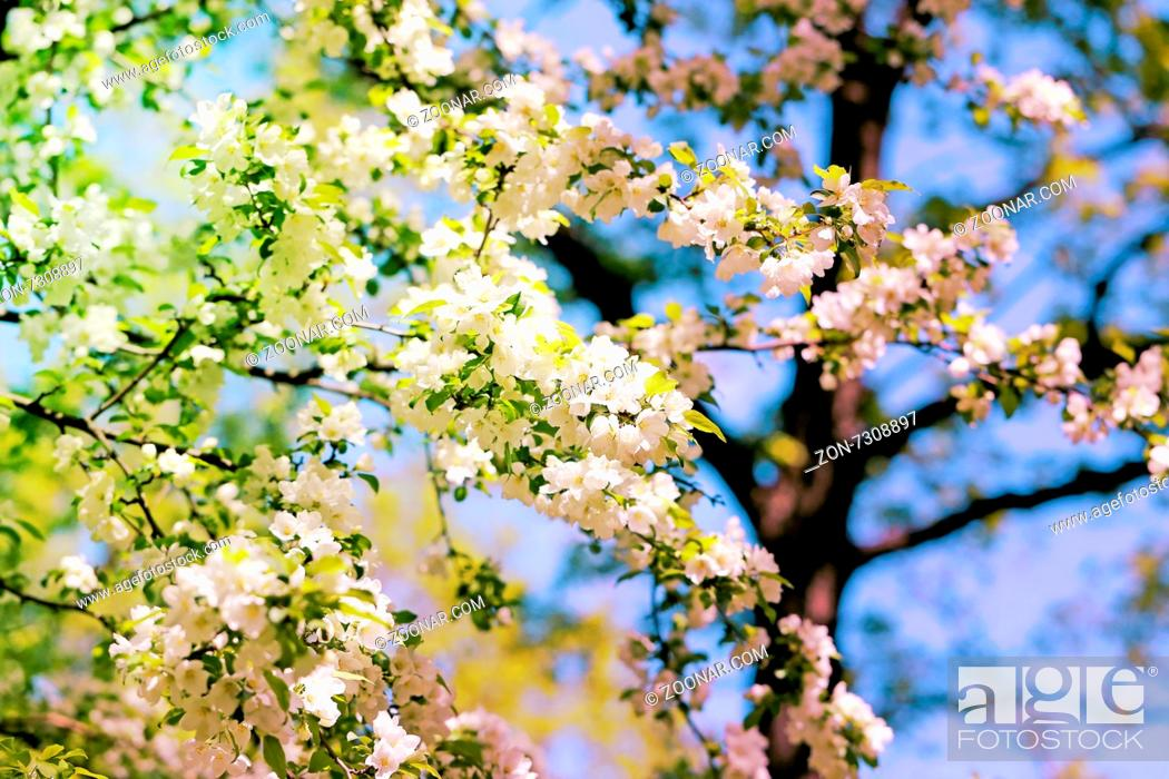 Stock Photo: Spring flowers on the tree photographed close up.