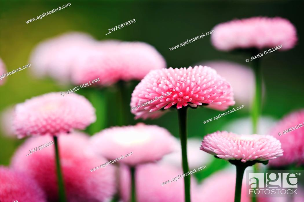 Stock Photo: English Daisy (Bellis perennis) Variety Bellissima Rose.