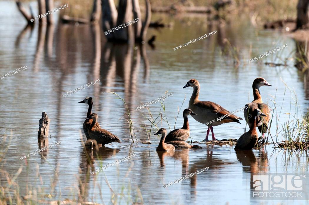 Imagen: Botswana, Okavango Delta, listed as World Heritage by UNESCO, Khwai Concession, Spur-winged geese (Plectopterus gambensis) and Egyptian geese (Alopochen.