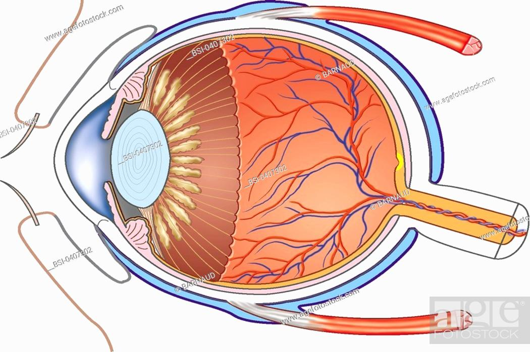 EYE, DRAWING<BR>Tenon\'s capsule, right superior muscle, retina ...