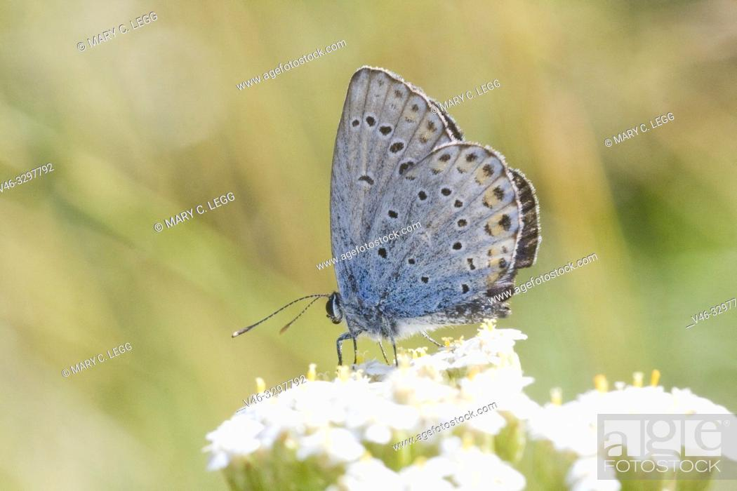 Stock Photo: Idas Blue, Plebejus idas. Small blue butterfly that is found in nutrient poor habitats and sandy grasslands. Easily cofused with Reverdin's Blue and.