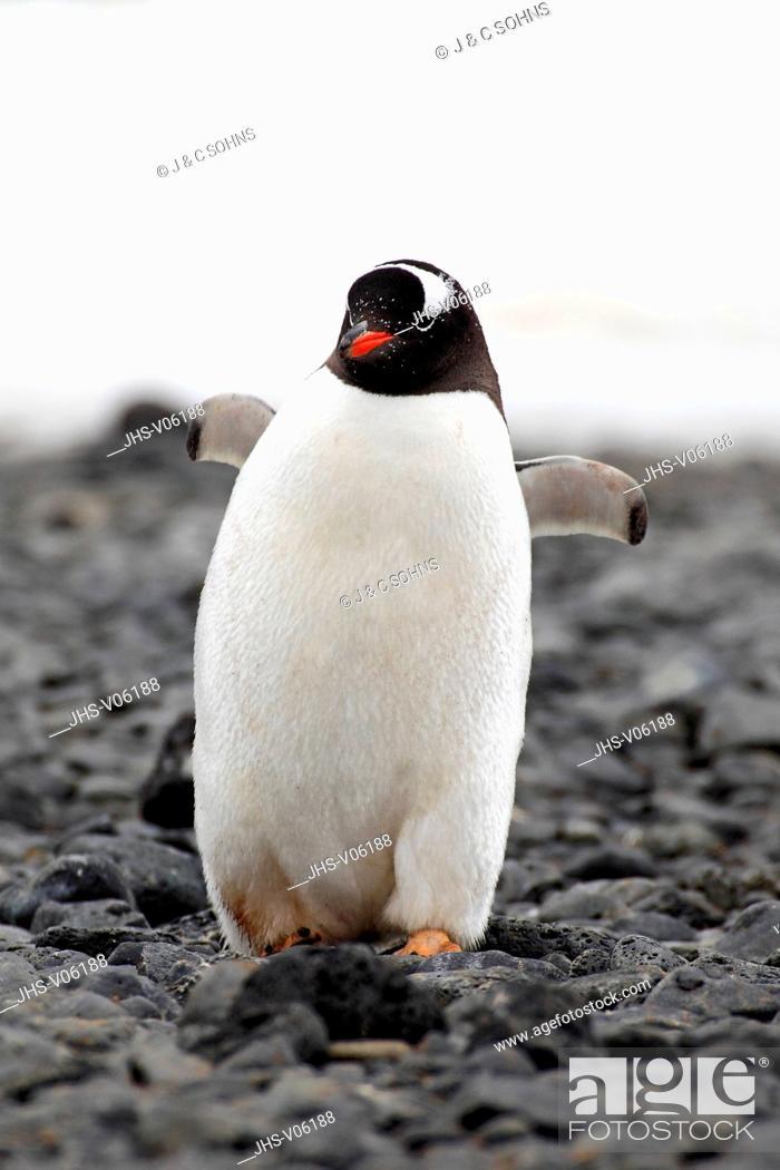 Stock Photo: Gentoo Penguin, (Pygoscelis papua), Antarctica, Half Moon Island, adult walking at beach.