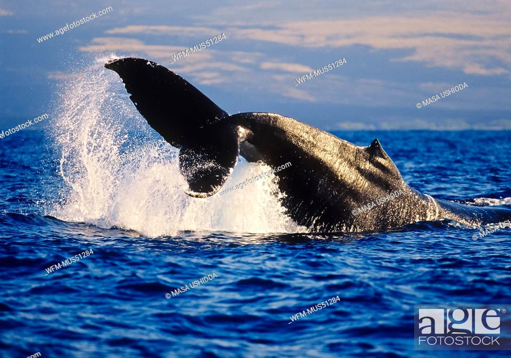 Stock Photo: Fluke of Humpback Whale, Megaptera novaeangliae, Hawaii, USA.