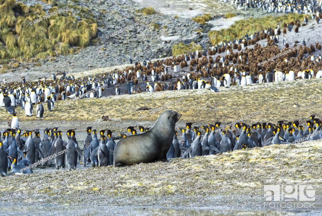 Photo de stock: Adult Fur seal (Arctocephalus gazella) chasing King penguins in a colony (Aptenodytes patagonicus), Right Whale Bay, South Georgia Island, Antarctic.