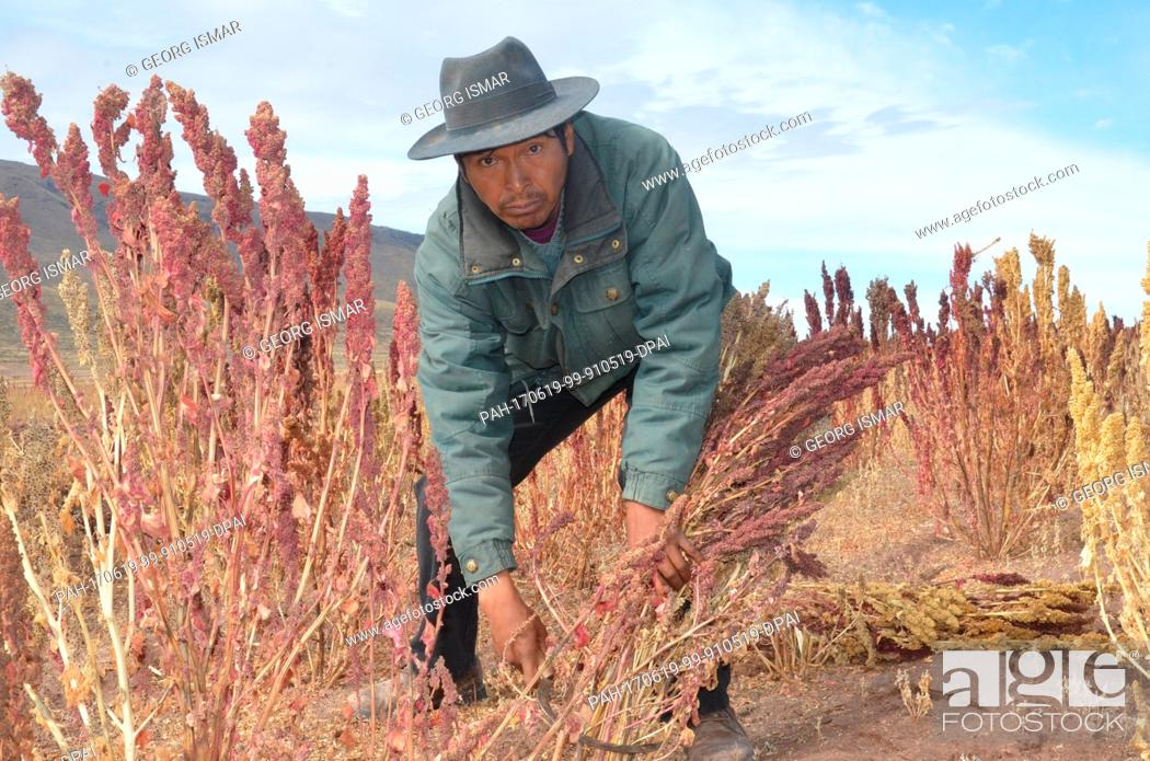 Stock Photo: Quinoa farmer Julian Canavari harvests red Quinoa near the town of Challapata, Bolivia, 27 May 2017. Due to the drop in prices.