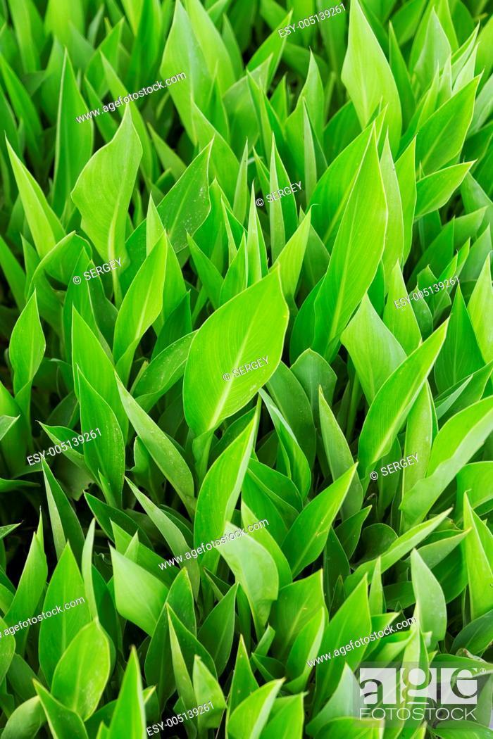 Stock Photo: green juicy leaves.