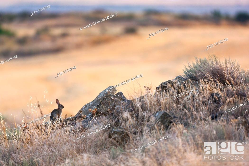 Stock Photo: European rabbit or Common rabbit (Oryctolagus cuniculus), Navarre, Spain.