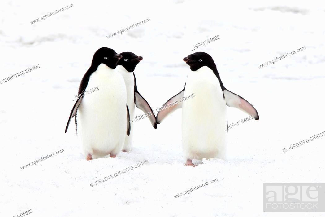 Stock Photo: Three Adélie Penguins (Pygoscelis adeliae), adults standing in the snow, Devil Island, Antarctica.
