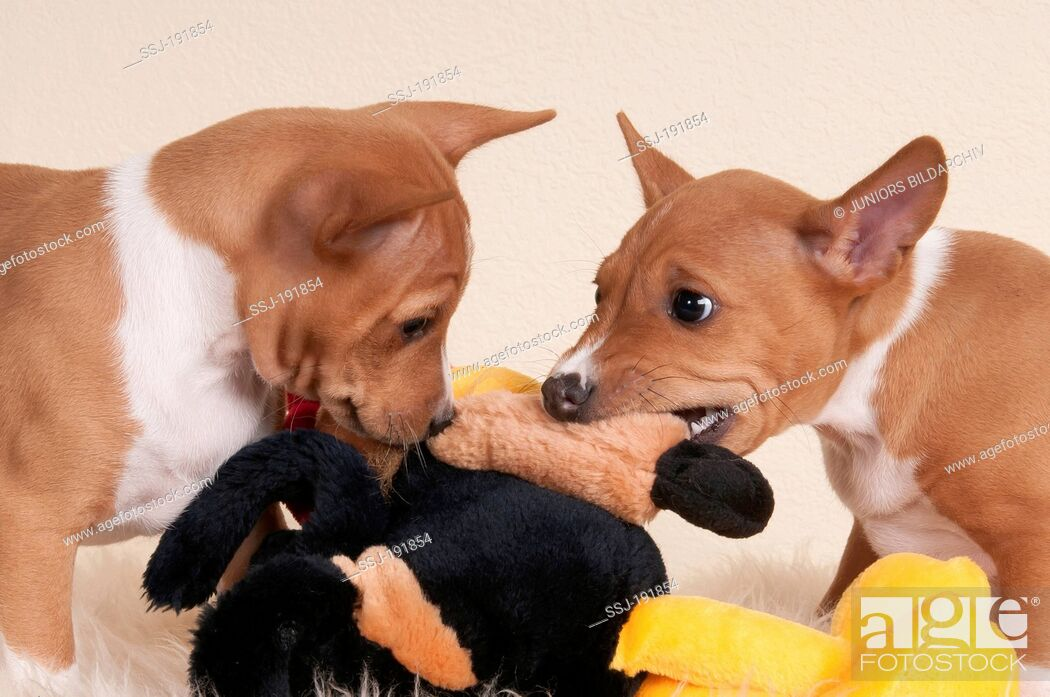 Imagen: Basenji. Two puppies (7, 5 weeks old) tearing at a plush toy. Studio picture against a white background.