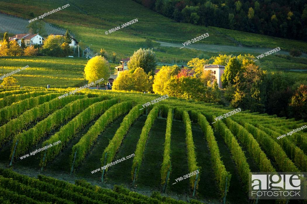Stock Photo: Autumn evening sunlight on the vineyards near Barolo, Piemonte, Italy.