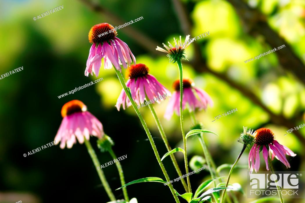 Stock Photo: Echinacea purpurea, or purple coneflower.