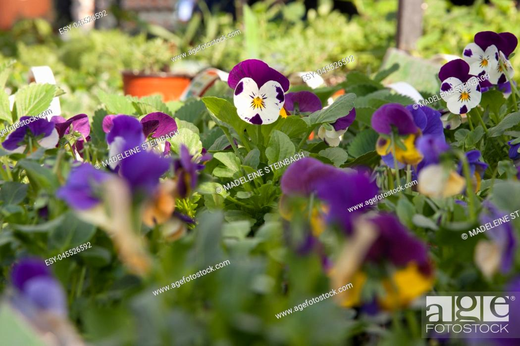 Stock Photo: Potted pansies on display at the farmers market in March, selective focus.
