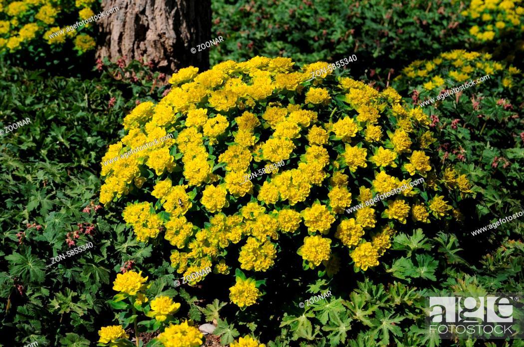 Euphorbia polychroma Gold Wolfsmilch