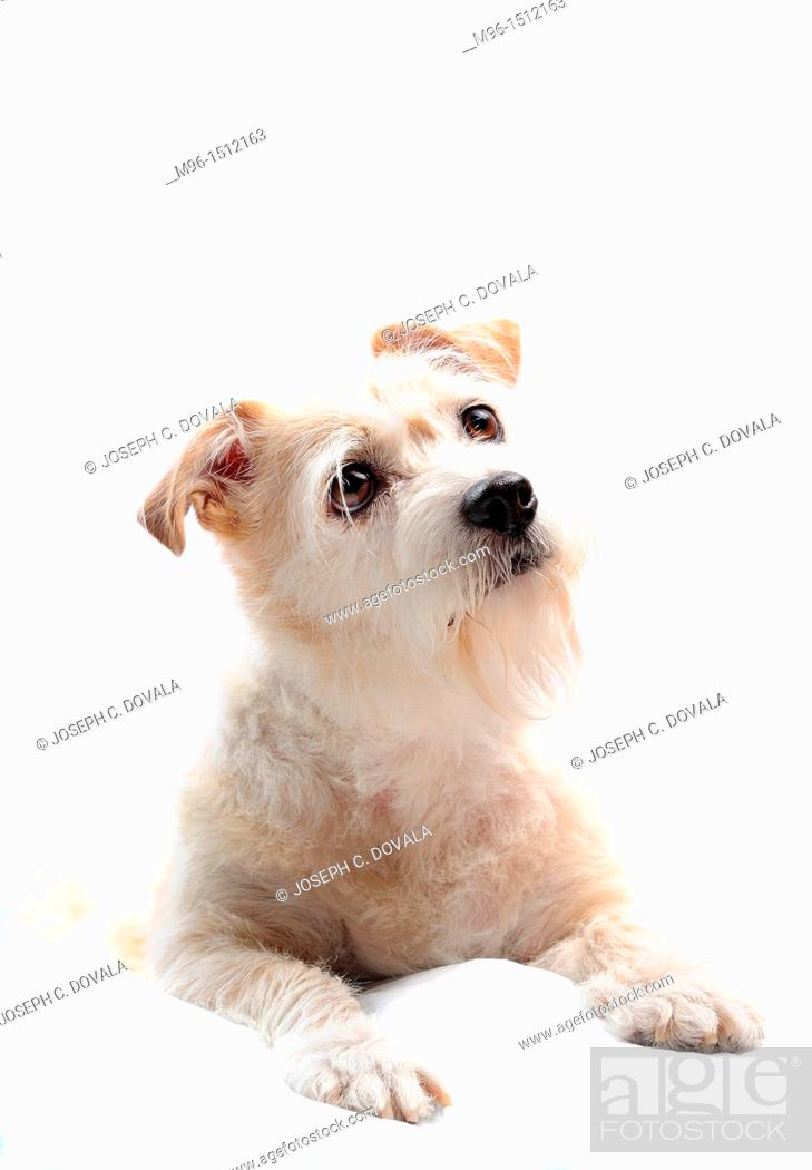 Stock Photo: Portrait of mixed breed terrier.