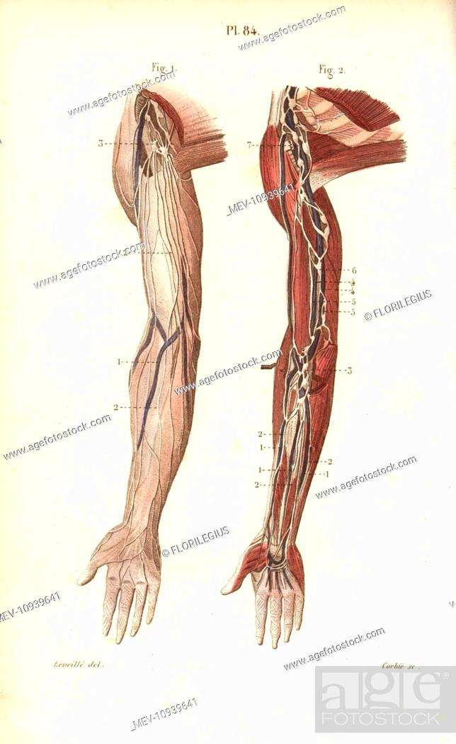 Lymphatic System In The Arm Handcolored Steel Engraving From Dr