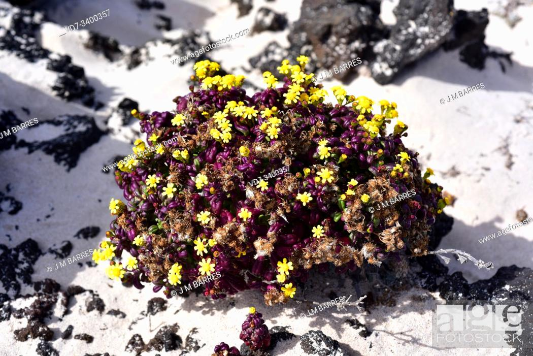 Stock Photo: Coastal ragwort (Senecio leucanthemifolius) is an annual plant native to Mediterranean Basin. This photo subspecies moqueguirre hediondo (Senecio.
