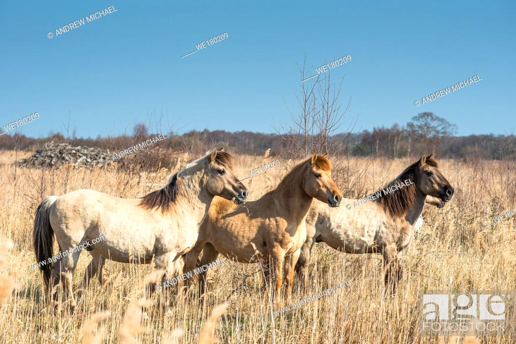 Stock Photo: Konik ponies on the Wicken Fen nature reserve, Cambridgeshire; England; UK.